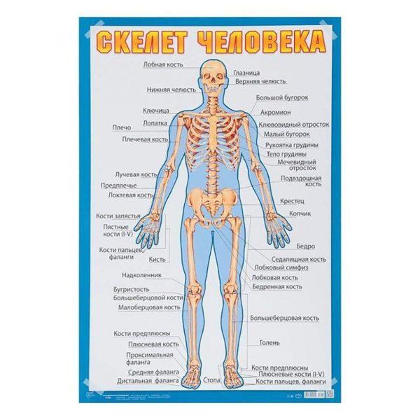 Плакат «Скелет человека» (А2)